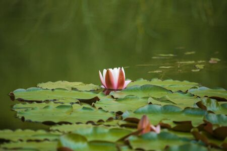 A beautiful light pink water lilies growing in a natural pond. Colorful summer scenery with water flowers. Фото со стока