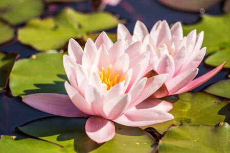 A beautiful light pink water lilies growing in a natural pond. Colorful summer scenery with water flowers. Imagens