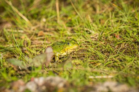 A beautiful common green water frog enjoying sunbathing in a natural habitat at the forest pond. Wild amphibian.