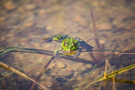 A beautiful common green water frog enjoying sunbathing in a natural habitat at the forest pond. Wild amphibian. Foto de archivo - 126501807