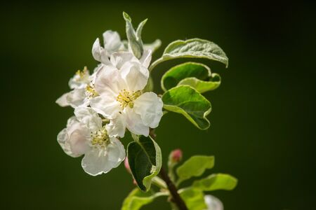 Beautiful, white apple tree blossoms  blooming in a sunny day. Spring scenery in garden.