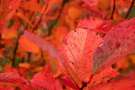 A beautiful red leaves of the aronia bush in autumn. Bright natural pattern in the garden. Latvia, northern Europe. Reklamní fotografie