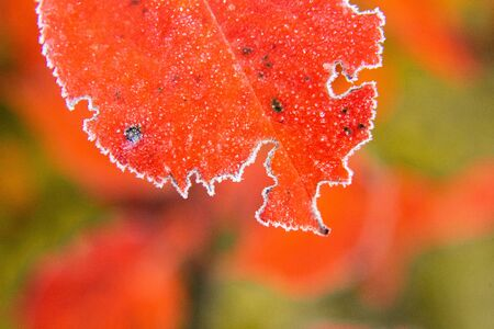Beautiful red aronia leaves with a frosty edge. Morning sceney in the garden. Autumn morning with bright red leaves. Latvia, northern Europe. Standard-Bild - 131684535