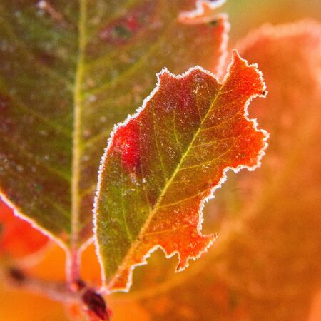 Beautiful red aronia leaves with a frosty edge. Morning sceney in the garden. Autumn morning with bright red leaves. Latvia, northern Europe. Standard-Bild - 131684528