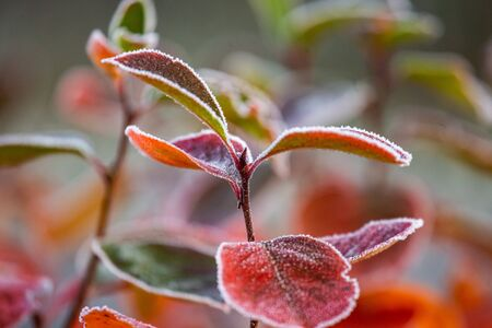 Beautiful red aronia leaves with a frosty edge. Morning sceney in the garden. Autumn morning with bright red leaves. Latvia, northern Europe.