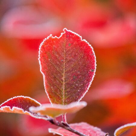 Beautiful red aronia leaves with a frosty edge. Morning sceney in the garden. Autumn morning with bright red leaves. Latvia, northern Europe. Standard-Bild - 131683650