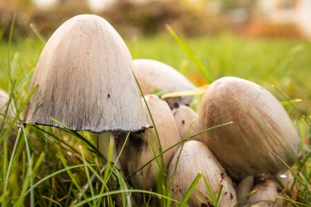 A bunch of brown mushrooms growing in the grass of the garden. Autumn scenery with mushrooms. Latvia, northern Europe.