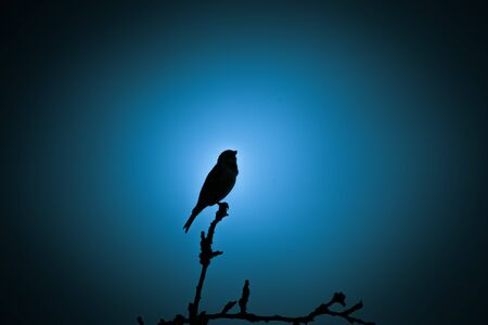 A beautiful dark silhouette of a small singing bird against the blue sky in the evening. Clean, monochromatic look.