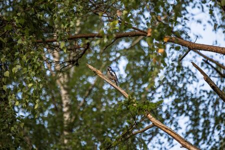 A beautiful, colorful woodpecker feeding in the pine forest. Natural scenery in the woods. Stockfoto