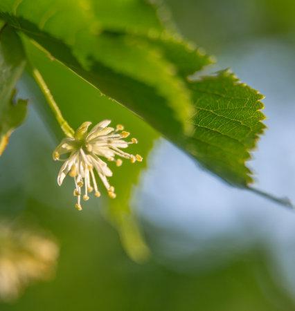 Beautiful linden tree blossoms in the summer. Medicinal, herbal, vegan, organic tea.