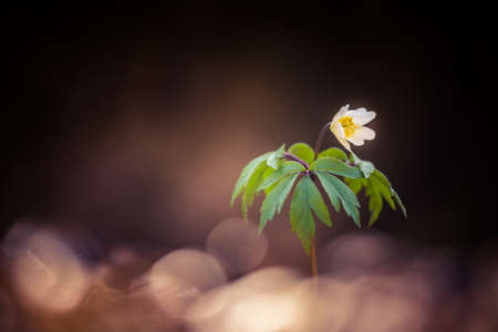 Beautiful white wood anemone flowers on a forest ground. Shallow depth of field, wide negative space. Anemone nemorosa in natural habitat in Northern Europe.