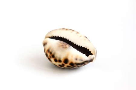 spiraglio: Spotted mare con guscio nero spiraglio isolato su bianco