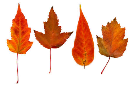 Fallen autumn multicolor leaves isolated over white background