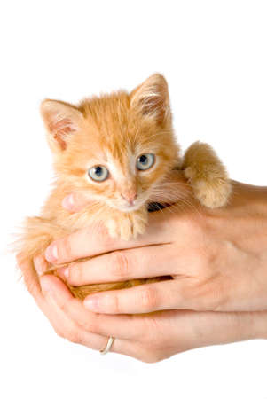 Fluffy red kitten in human hands isolated over white background Stock Photo - 3238893