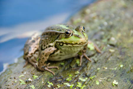 water frog: Spotty frog sits on a tree in a water Stock Photo