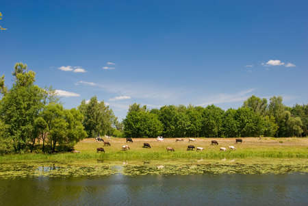 Cows are grazed on a river coast Stock Photo - 3286190