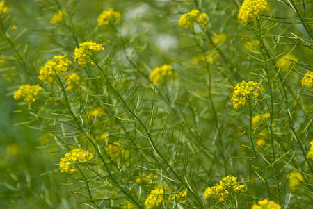 herbage: Green grass with yellow flowers nature