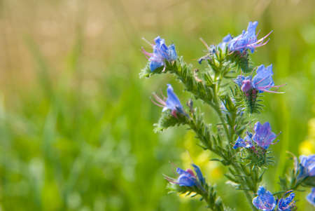 herbage: Summer blue flowers in a meadow Stock Photo