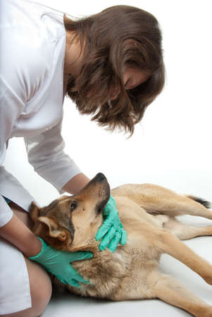 sick person: Young vet inspects a dog in a clinic