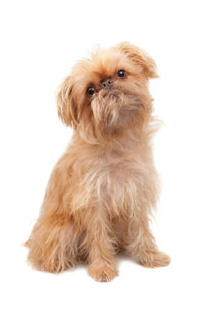 griffon: Dog isolated over white. Breed - Griffon Bruxellois. Two years old Stock Photo