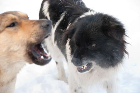 grin: Two dogs grin against each other