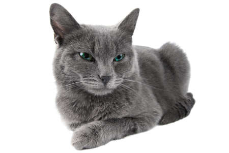 Grey cat with green eyes lie on white background Stock Photo
