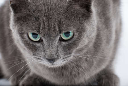 gray cat: Grey cats muzzle with green eyes closeup portrait