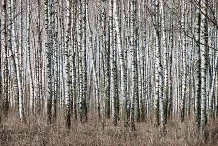 Birch trunks in a spring forest Stock Photo