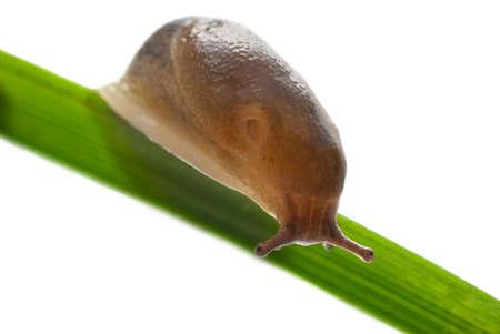 Slug creeps on a grass over white background Stock Photo - 5033567
