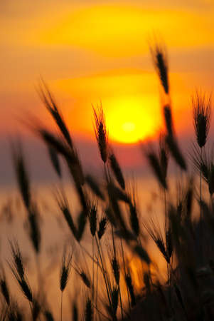Wheat on a great summer sunset background Stock Photo - 5085840