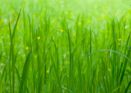 Mysterious green grass with small yellow flowers Stock Photo - 5122508