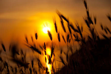 Wheat on a great summer sunset background Stock Photo - 5122510