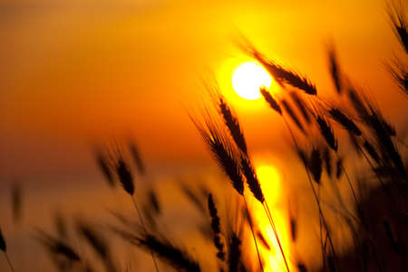 Wheat on a great summer sunset background Stock Photo - 6044961