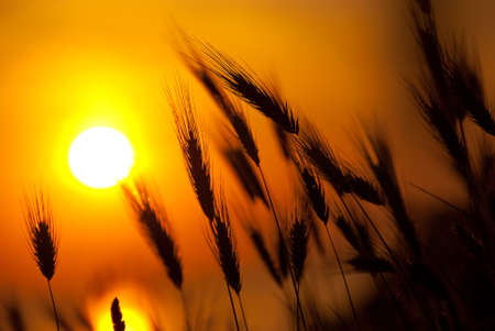 Wheat on a great summer sunset background