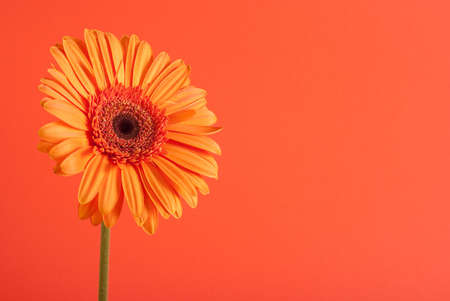 Orange gerbera flower on the orange background   photo