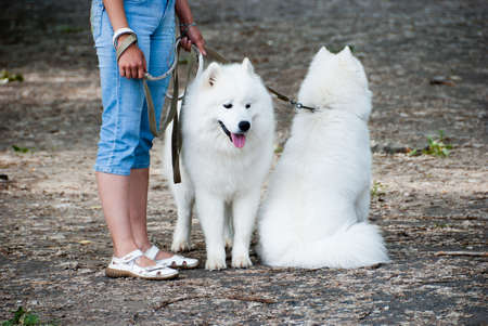 eskimo woman: Two samoyed dogs with its owner