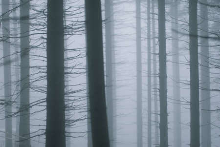 Trunks of trees in a misty forest Stock Photo - 8104436