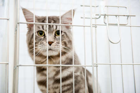 Grey striped cat in a cage behind bars looks to camera