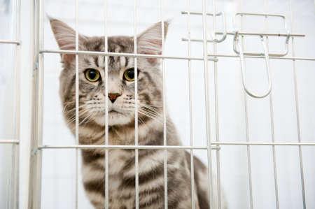 Grise rayée chat dans une cage derrière les barreaux se tourne vers la caméra