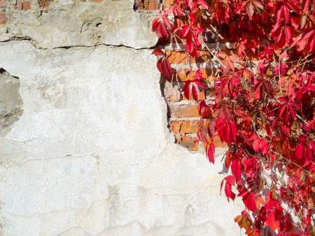 Red creeper plant on a wall creates a beautiful background photo