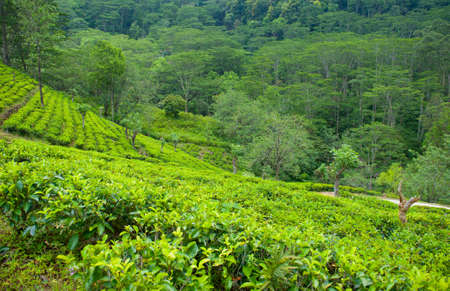 Tea plantation landscape near Nuwara Eliya, Sri-lanka photo
