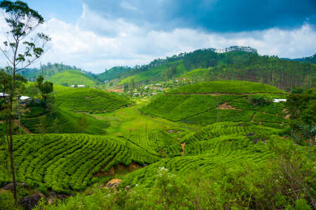 Tea plantation landscape in Sri Lanka