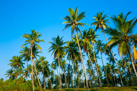 Beautiful palm forest in Sri Lanka photo