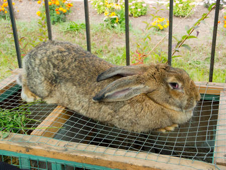 the hutch: Big rabbit sits on the cage