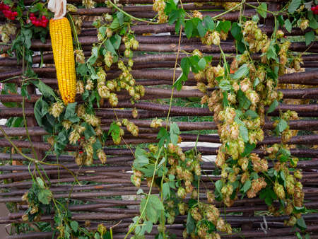 yard stick: Traditional Ukrainian wattle with hop and corn