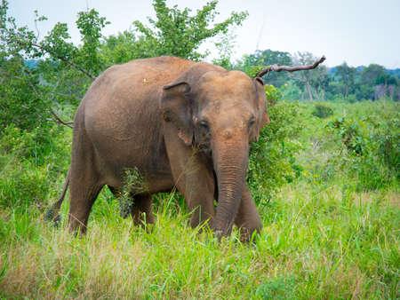 srilanka: Wild elephant in Uda Walawe National Park, Sri-Lanka