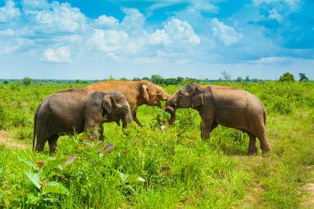srilanka: Group of wild elephants in Uda Walawe National Park, Sri-Lanka