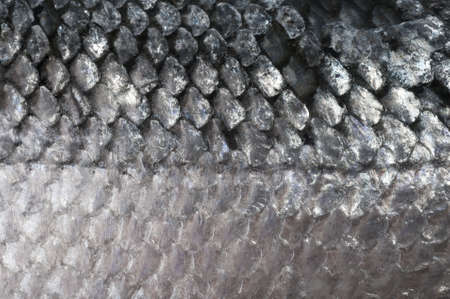 ecailles poisson: Fish scales salmon macro image