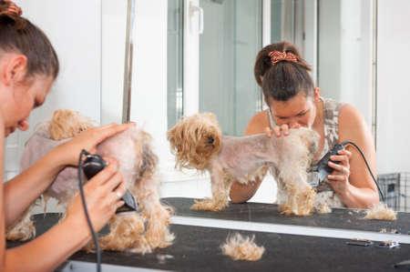 groomer: Female groomer haircut Yorkshire Terrier Stock Photo