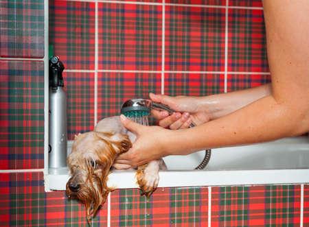 Female groomer wash Yorkshire Terrier Stock Photo - 20927377